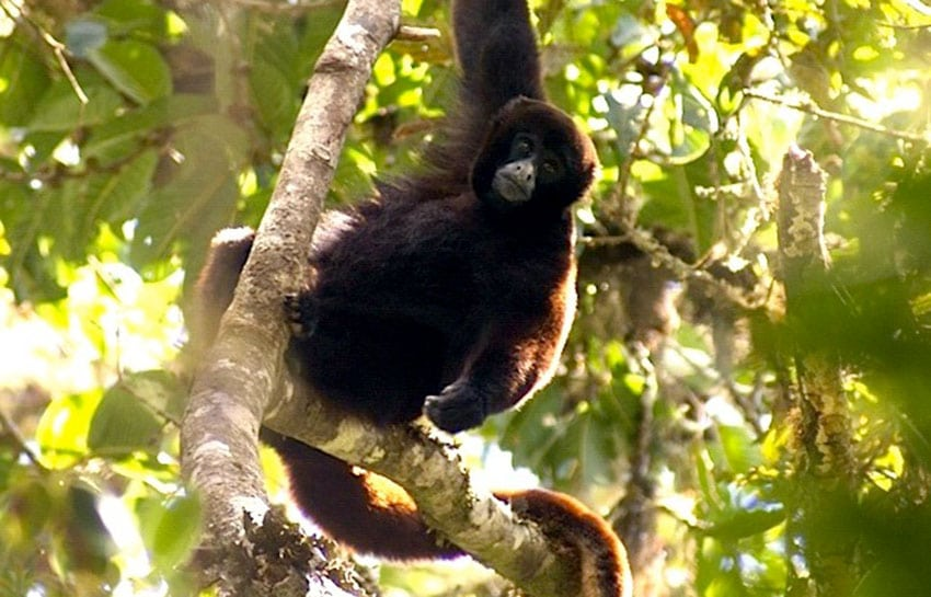 yellow tailed woolly monkey By Platyrrhinus (Own work) [CC BY-SA 3.0 (https://creativecommons.org/licenses/by-sa/3.0) or GFDL (http://www.gnu.org/copyleft/fdl.html)], via Wikimedia Commons